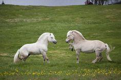 Maz The Spaz. Yellow dun Fjord horses (palomino + dun, that is to say: chestnut + cream + dun)
