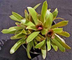 Crassula orbiculata var. rosularis