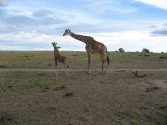 2bba39b722f7a9 64 Best Giraffes images in 2019 | Giraffes, Baby giraffes, Cute giraffe