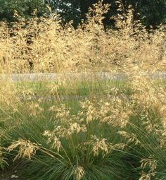 Stipa gigantea - ( Golden Oats ) AGM Family Poaceae Originating from SW Europe, NW Africa Evergreen arching green leaves forming a large clump. Golden brown airy flower plumes which age to straw yellow.