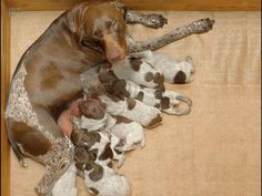 Enfield German Shorthairs is recognized for its champ-lined, AKC, German Shorthaired Pointer progeny that excel in both outdoor and indoor bearing.Our expertly started pups make ideal additions to a host of discriminating sport enthusiasts as well as lively families.All Kennel Pups Go To