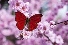 Red butterfly on plum  blossom branch (I think the colors have been altered in Photoshop)