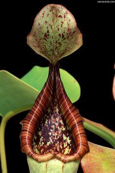 Nepenthes truncata. A beautiful pitcher plant specimen.
