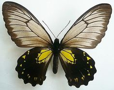 Butterflies collection on eBay!