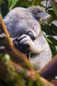 Koala sleeping. Koalas sleep 20 hours a day