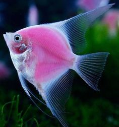 WORLD'S FIRST ONLY FLUORESCENT ANGELFISH