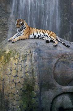 Beautiful image... tiger on a Buddha statue
