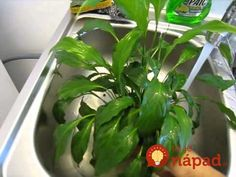 Táto rastlinka dokáže prežiť aj v sťažených svetelných podmienkach a zvládne aj to, keď ju sem-tam zabudnete zaliať. Za minimálnu starostlivosť vám však toho dá skutočne veľa. Korn, Blog, Vegetables, Plants, Gardening, Tatoo, Loose Weight, Grasses, Veggies