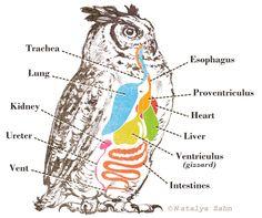 Great Horned Owl digestion diagram - illustrated by Natalya Zahn #animal #wildlife #anatomy