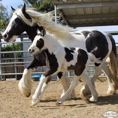 Black and White Pinto Paint Gypsy Vanner Horse Trotting Cantering Foal Colt Filly Stallion Gelding Mare