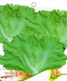 Garden Lettuce Seeds Vegetable Seeds Plant Seeds by Greenworld1, $9.99