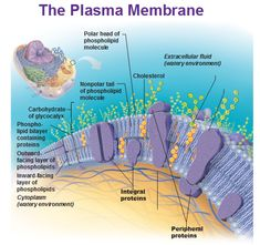 plasma membrane Science Cells, Plant Science, Plasma Membrane, Cell Membrane, Cell Biology, Science Biology, Digestive System Anatomy, Membrane Structure, Biology Classroom