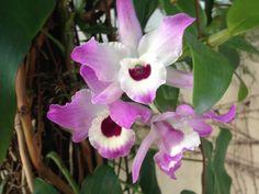 Minhas Orquideas   Presentes da natureza!