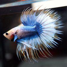 Live-Betta-Fish-Fancy-034-034-BLUE-PENGUIN-PORORO-034-034-Crowntail-CTHM-Male-B1