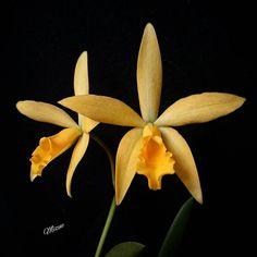 Cattleya híbrido  #orquidea #orkide#orchid#asorquideas #quintaflower #ptk_flowers #9vaga9#9flower9 #ponyfony_flowers #superb_flowers #brazil_photolovers #brasil_greatshots #icu_nature_perfect_day #igscflowers #exclusive_features #myheartinshots #pocket_pretty #flower_special_ #ig_discover_petal #_international_flowers_ #rainbow_petals #exclusive_gardens #bestcaptureglobal #ig_great_pics #Cattleya