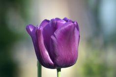 Purple Tulip  #plant #purple #tulip #photography