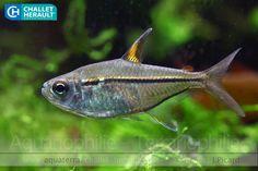 Hemigrammus ulreyi - Ulreys' tetra, South America Tropical Aquarium, Tropical Fish, Aquariums, Tetra Fish, Aquatic Ecosystem, Freshwater Aquarium Fish, Guppy, Aquascaping, Predator