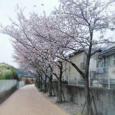 花見客のいない田舎の桜並木…(・_・、)