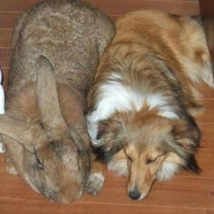 The Largest Rabbit/Hare in the World: The Flemish Giant!!