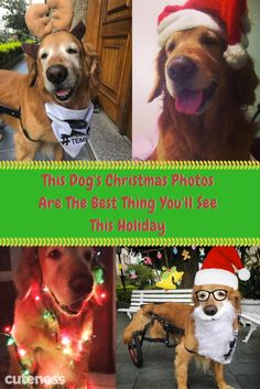 This dog had an adorable Christmas photoshoot and looking at his pictures is scientifically proven to increase Christmas cheer by Christmas Dog, Christmas Cards, Cute Dog Pictures, Cat Photography, Dog Love, Animals And Pets, Dog Breeds, Cute Dogs, Dogs And Puppies