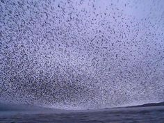 Murmuration. www.islandsandrivers.com  Facebook: Islands And Rivers  Follow us @Islands_Rivers  A chance encounter and shared moment with on...