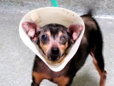 TO BE DESTROYED - 10/13/14 SUPER URGENT 10/9/14 Manhattan Center   JORDON - A1016638   MALE, BLACK / BROWN, CHIHUAHUA SH, 7 yrs OWNER SUR - EVALUATE, NO HOLD Reason PET HEALTH  Intake condition EXAM REQ Intake Date 10/07/2014, From NY 10031, DueOut Date 10/07/2014,   https://www.facebook.com/Urgentdeathrowdogs/photos/a.611290788883804.1073741851.152876678058553/883797094966504/?type=3&theater