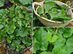 Malabar Spinach: heat-resistant #gardening