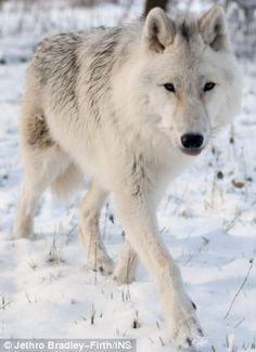 .White wolf