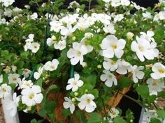 bacopa-hanging-basket - how to grow bacopa