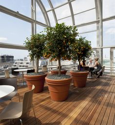 Great Orangery on a roof in the city of London - Orange Tree Citrus sinensis