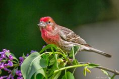 """""""Finch on Lilac"""" House Finch in breeding colors. Little Lake Valley, Northern California  http://christhephotog.blogspot.com"""