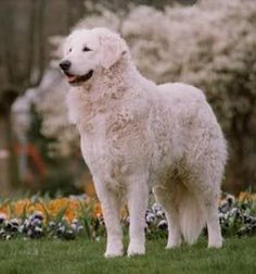 Kuvasz - Hungarian cattle dog and excellent guard dog as well.