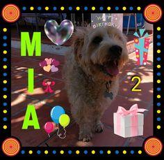Hoy #Cumpleaños #Mia le deseamos muchos mimos y chuches 05/02/18 🎂🐕👑🎉💞🎈🥓🍗🎁🎉😘😘 * * #Cumpleañeros #Peludos #Mascotas #Perros #Momentos #Dog #Mascottes #Pets #Mascot #Shaggy #Furry #adoptanocompres #adopwithbuy #adopteravecachat