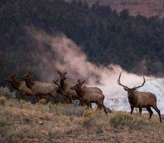 A beautiful bull Elk in Photo Moose Antlers, Deer, Elk Pictures, Bull Elk, American Games, Elks, Elk Hunting, Animal Games, Big Game