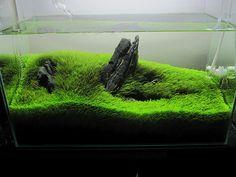 (UG) utricularia graminifolia by BJRuttenberg, via Flickr