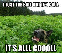 #GermanShepherd weed humour