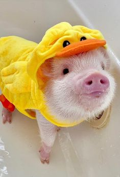 Feeding of lovely popular and funny pigs - Gloria Love Pets Cute Baby Pigs, Baby Animals Super Cute, Cute Piglets, Cute Little Animals, Cute Funny Animals, Baby Piglets, Baby Animals Pictures, Cute Animal Pictures, Funny Pig Pictures