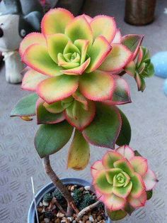 Idea Of Making Plant Pots At Home // Flower Pots From Cement Marbles // Home Decoration Ideas – Top Soop Aeonium Kiwi, Echeveria, Succulent Gardening, Planting Succulents, Succulent Plants, Cactus Flower, Flower Pots, Air Plants, Indoor Plants