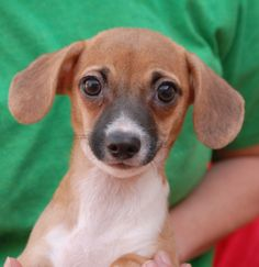 """Nick, baby boy -- 1 of 5 """"Fairy Tale Puppies"""" debuting for adoption.  More pictures & information: http://nevadaspca.blogspot.com/2014/01/the-fairy-tale-puppies-debut-for.html"""