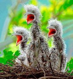 "mokacahuete: ""mokacahuete: ""Oisillons, Aigrette - Egretta !Bird story * "" r* """
