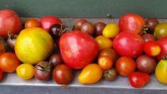 Alte Tomarten Sorten. Tomaten aus dem Garten