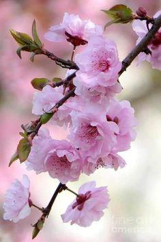 Blossom Garden, Blossom Trees, Spring Blossom, Blossom Flower, Cherry Blossom, Beautiful Flowers Wallpapers, Beautiful Rose Flowers, Amazing Flowers, Pretty Flowers