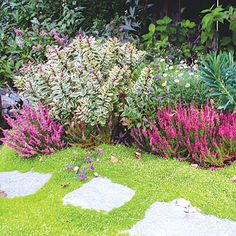 Great garden borders: Fringe a path    This border features two rosy Scotch heathers (Calluna vulgaris 'Dark Beauty') and variegated Hebe speciosa 'Tricolor'. Scotch moss grows between pavers.