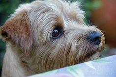 Norfolk Terrier Information - Dog Breeds at thepetowners Cute Dogs Breeds, Best Dog Breeds, Best Dogs, Norfolk Terrier Puppies, Yorkshire Terrier, Terrier Dog Breeds, Cairn Terriers, Norwich Terrier, Puppy Pictures