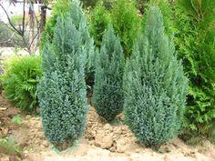 Кипорисовики: сорта, виды, фото, выращивание кипарисовика