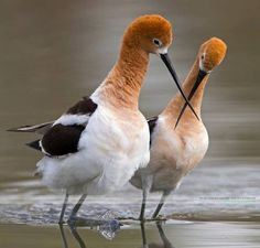 American Avocets.  Saw my first ones in Delaware, a flock of 24 birds.  That was in 1981