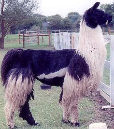 This is the Fiber I Have been Spinning. Llama is one of the softest and warmest fibers! Autumn Hill Llamas & Fiber: May This is the shear we would like to do for our llama, Hugo. Farm Animals, Cute Animals, Llamas, Autumn Hill, Chicken And Cow, Spinning Wool, Cute Llama, Llama Alpaca, Shearing