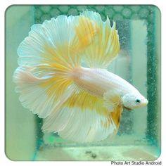 Yellow white