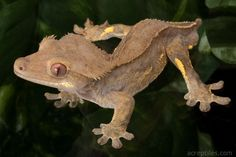 Crested Gecko looks a lot like my Harold.... He's even missing the tail!