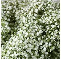 Buy wholesale cut Gypsophila Million Stars for delivery to any UK address. Gypsophilia Million Stars ideal for bridal work & wedding flowers. No minimum order required - Floral accessories also available. Bunch Of Flowers, White Flowers, Beautiful Flowers, Garland Wedding, Wedding Flowers, Wedding Decoration, Wedding Bells, Sams Club Flowers, Baby's Breath Plant